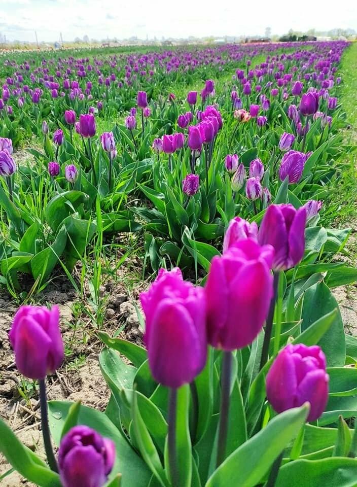 Дорогою до Буковелю з'явилася нова туристична атракція  - долина тюльпанів, фото-1